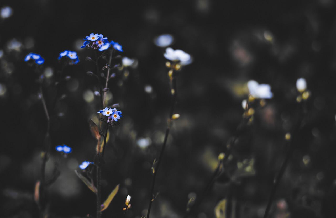 forget me not flowers dark