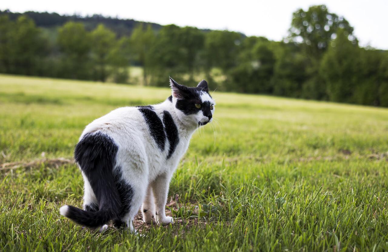 cow cat on field