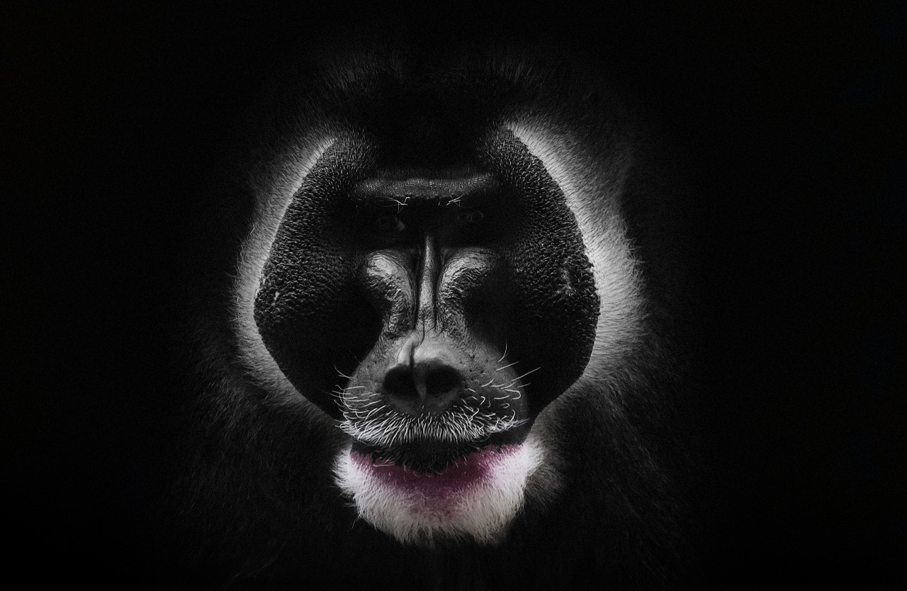 mandrill monkey portrait