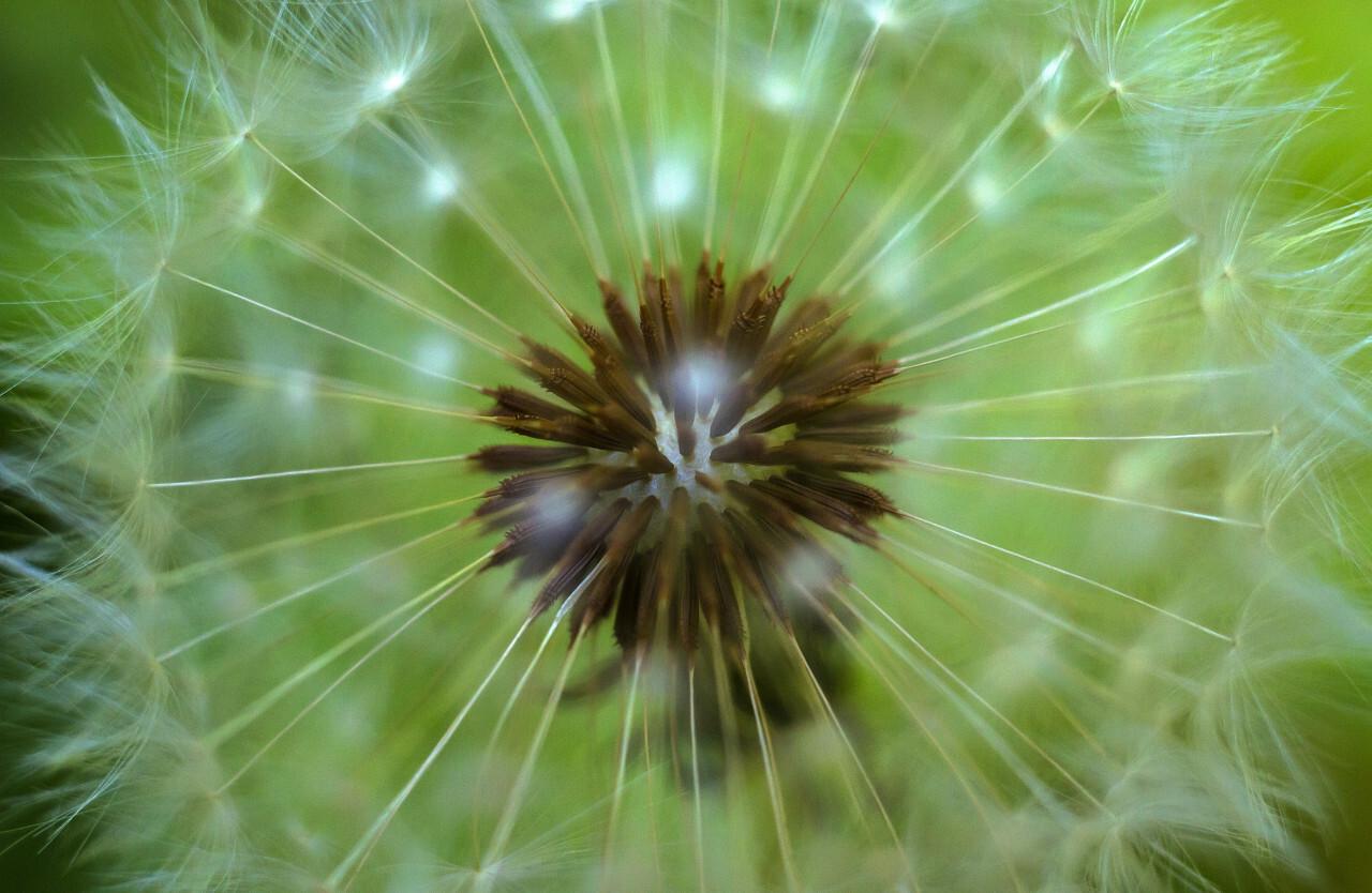 A macro shot of a dandelion flower