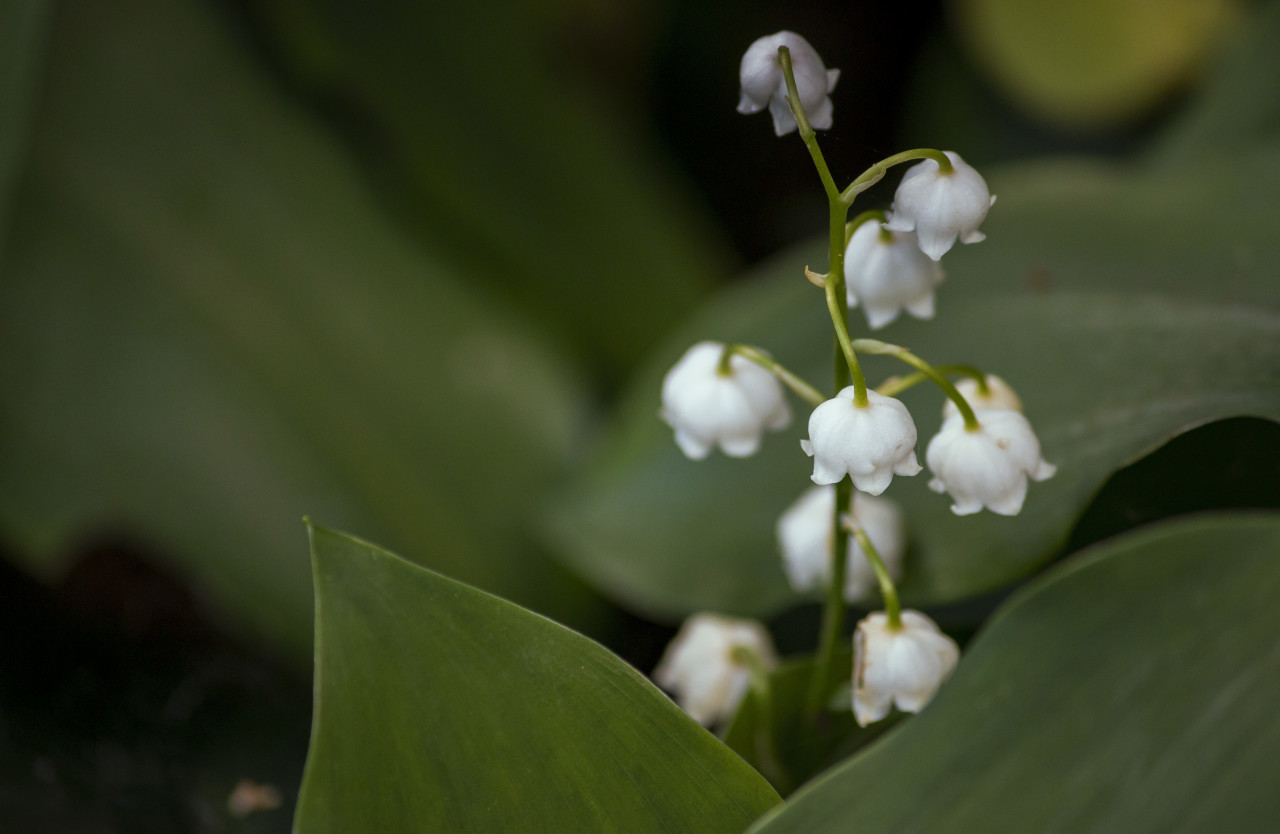 lily of the valley on the side of the trail