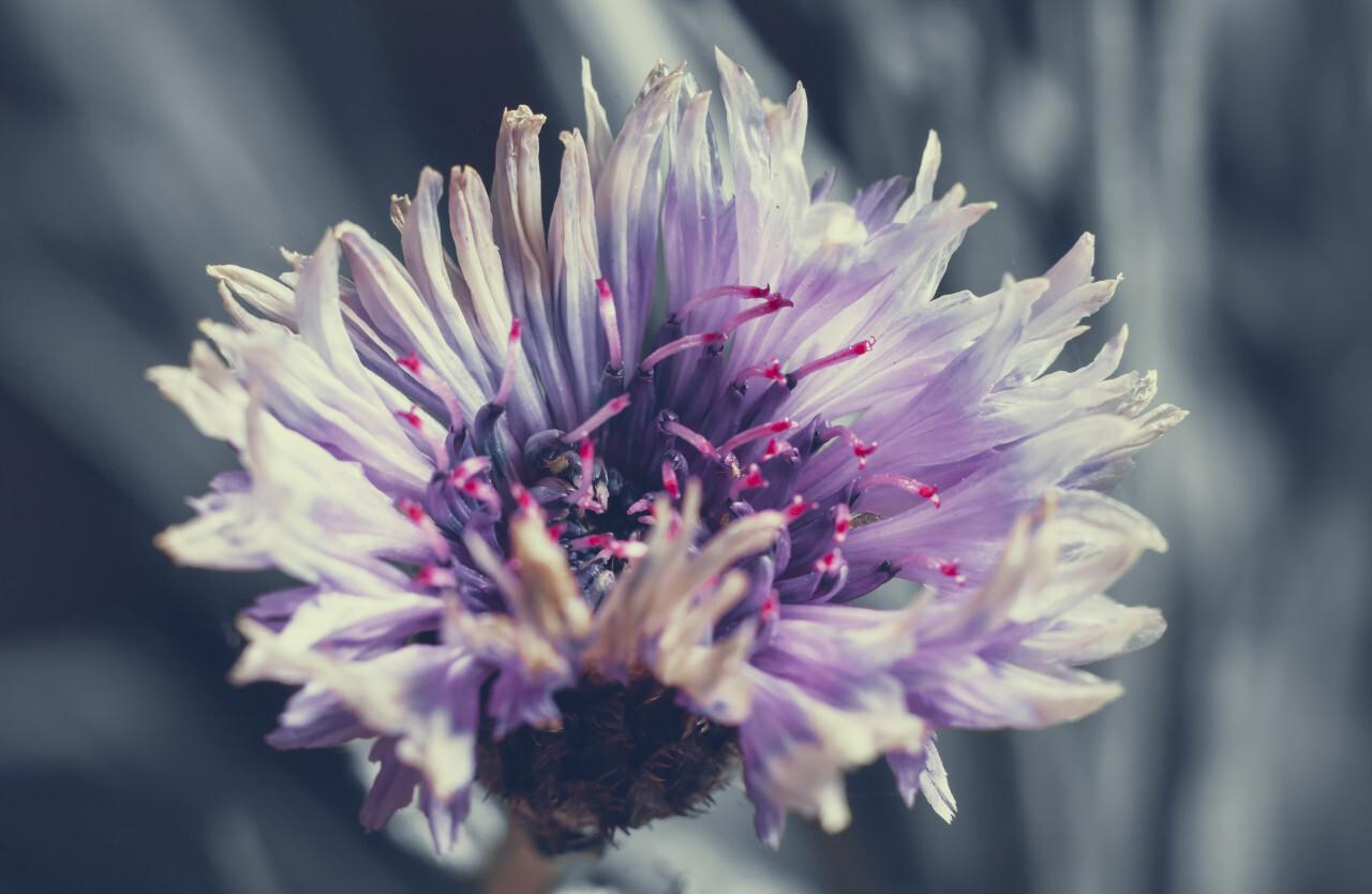 Close up of beautiful purple flower of cornflower