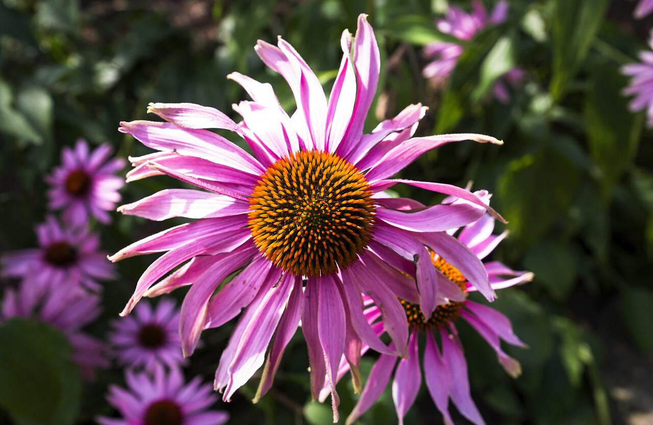 pink echinaceas flower
