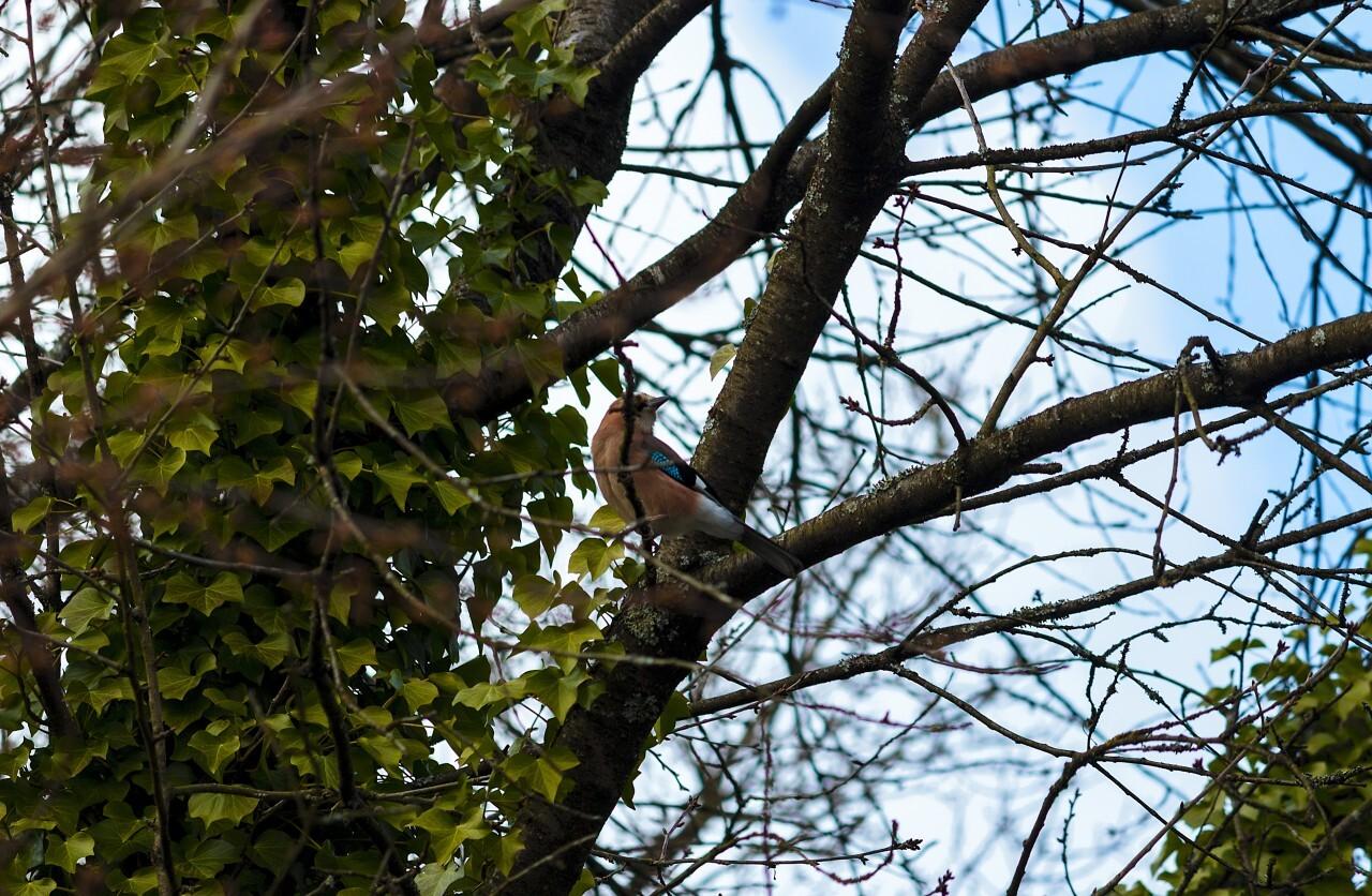 garrulus glandarius jay songbird