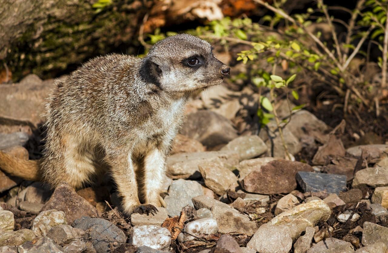 meerkat sit on rocks