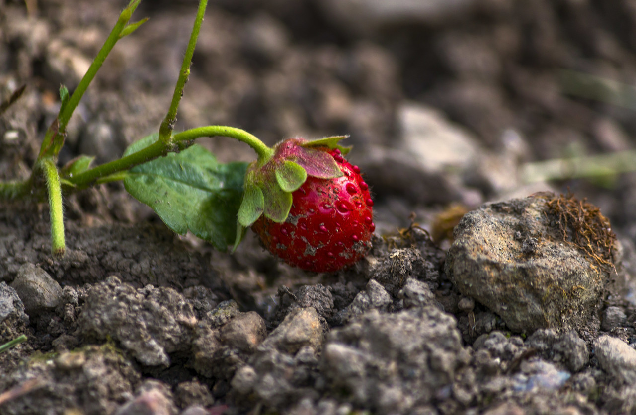 red strawberry on field