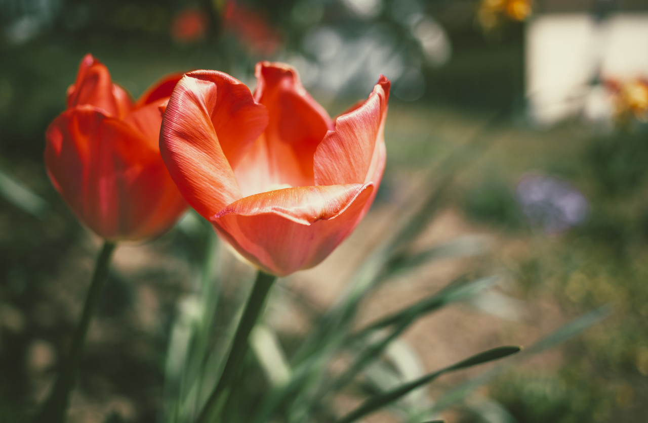 Beautiful Red blooming tulips in spring
