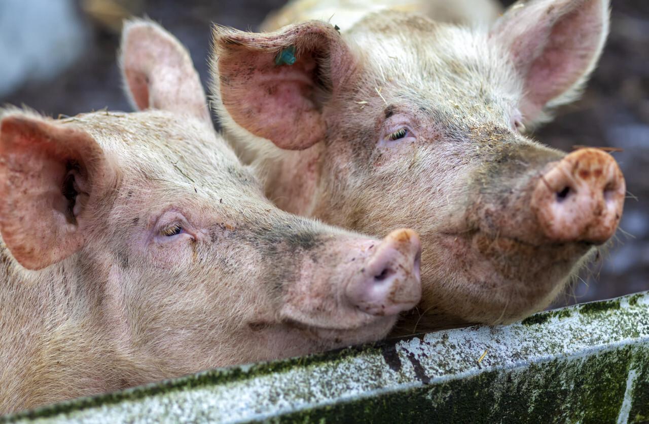 Cute pigs portrait