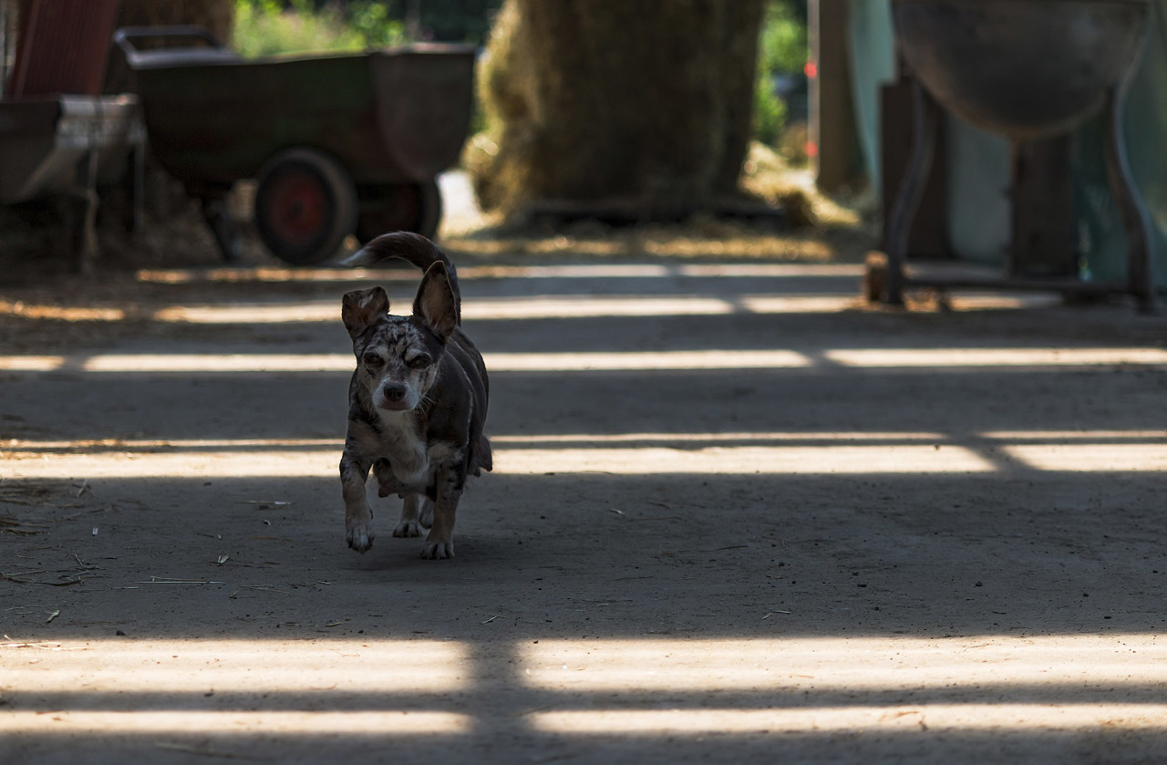 Cute little Dog mother walking over the farm