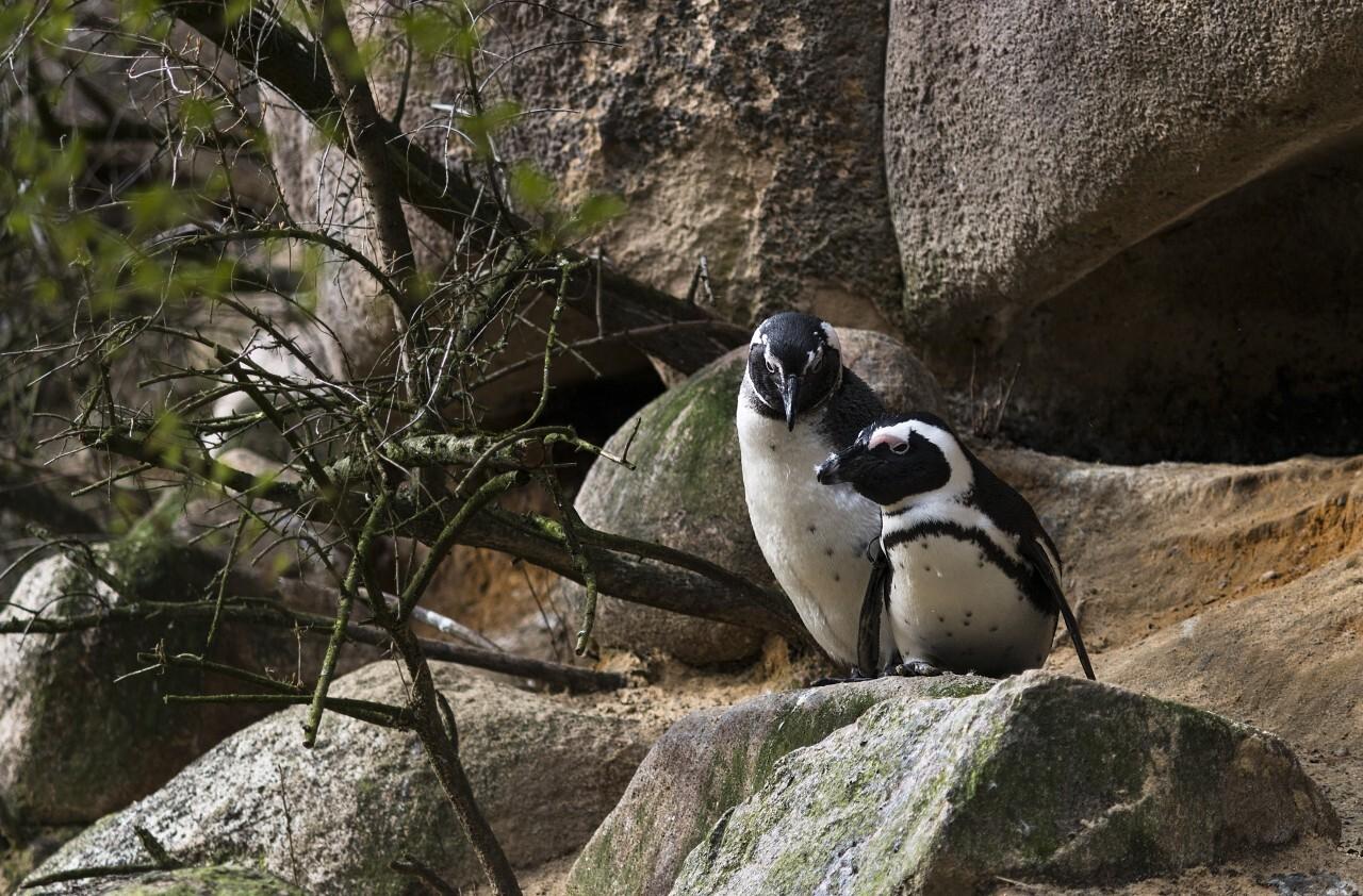 a penguin couple on a rock