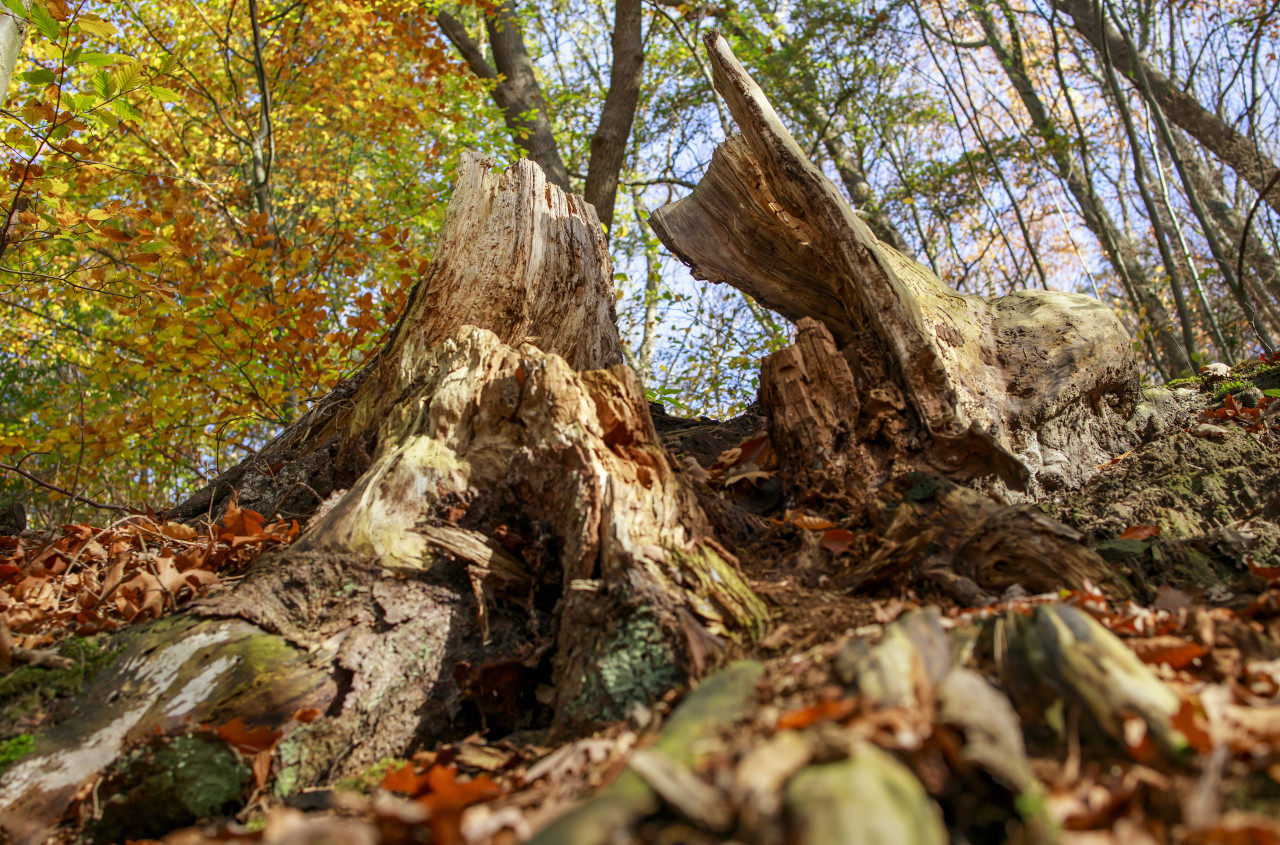 Dead tree in the autumn forest
