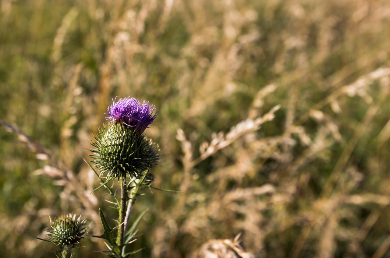thistle flowering
