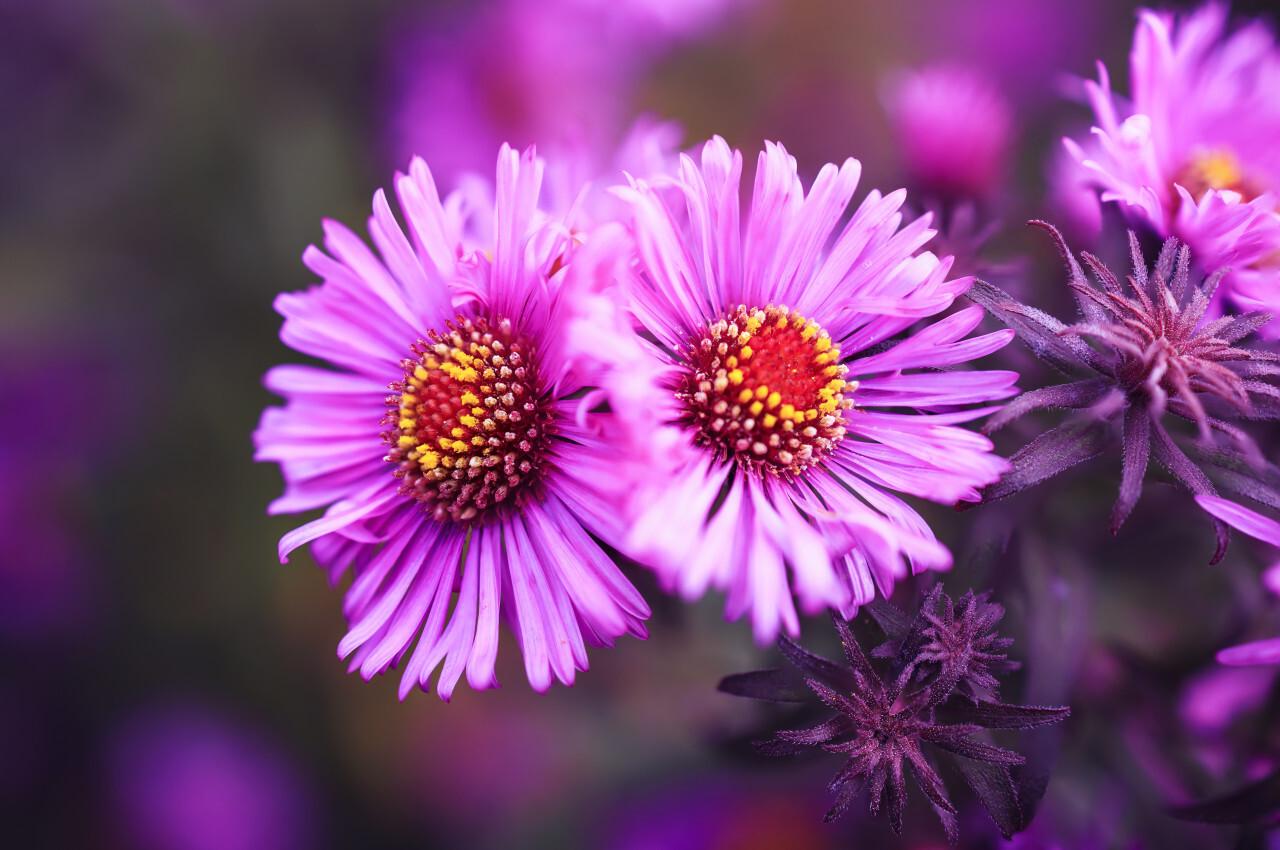 Aster Autumn Flowers