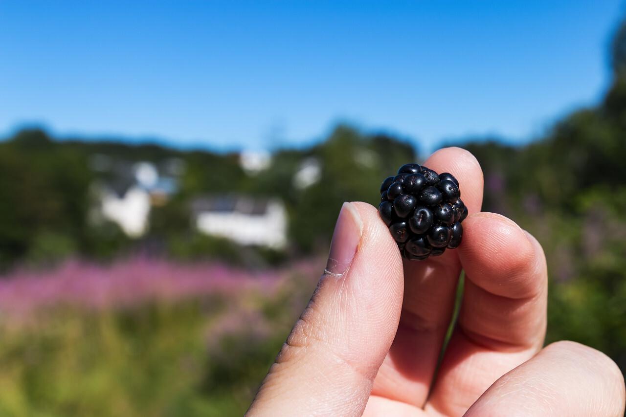 freshly picked blackberry in hand