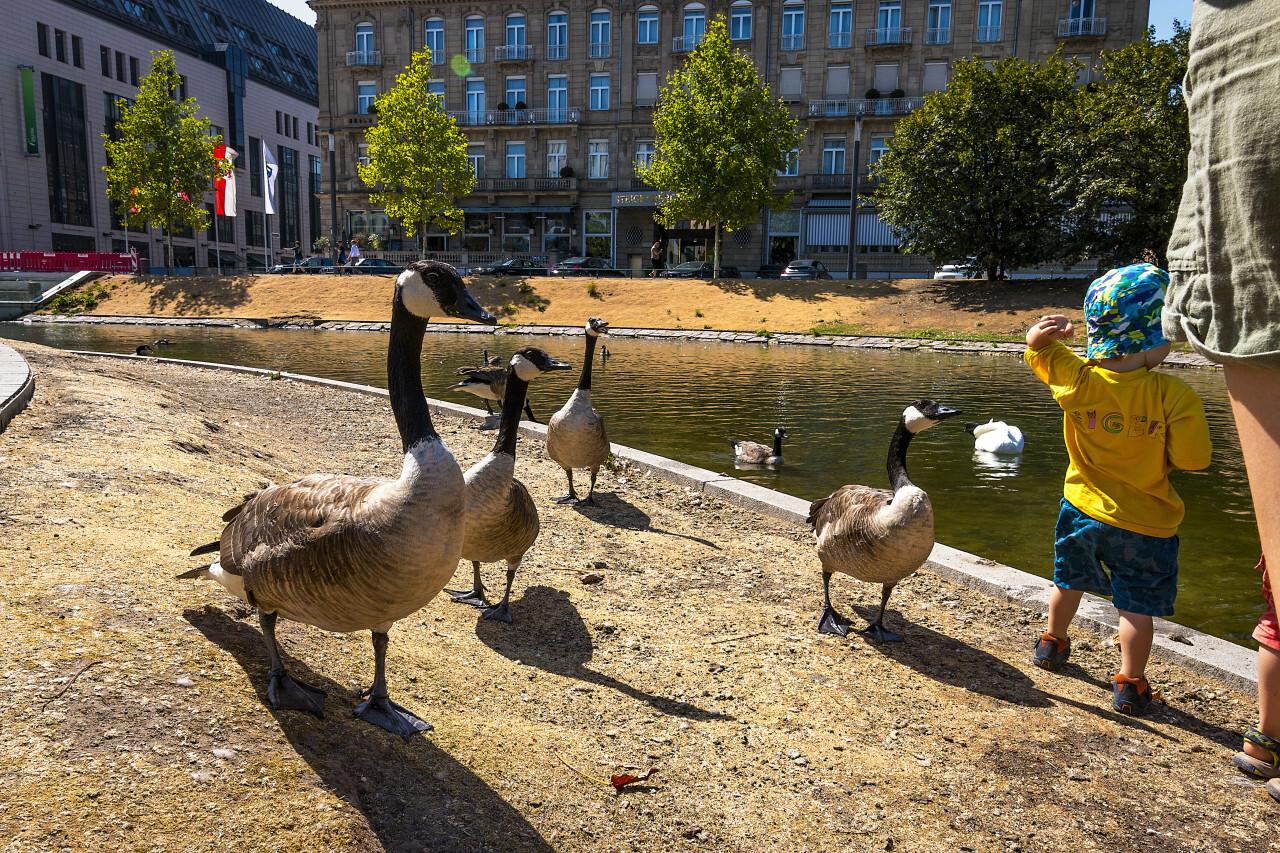 wild goose feeding
