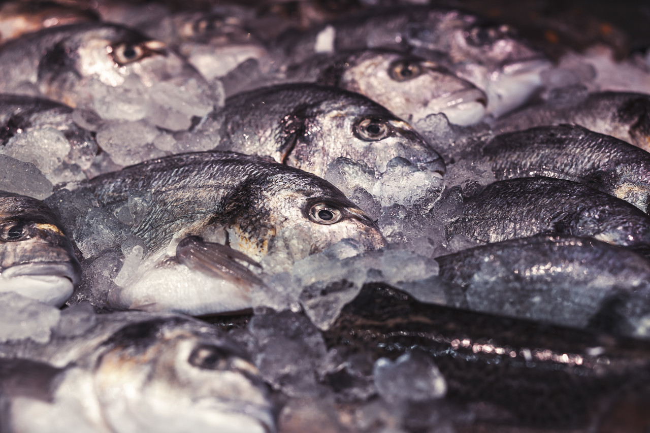 raw uncooked gutted sea bream or dorado fish on ice