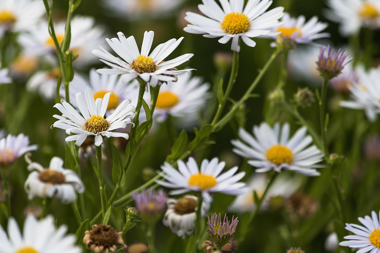 daisies in august