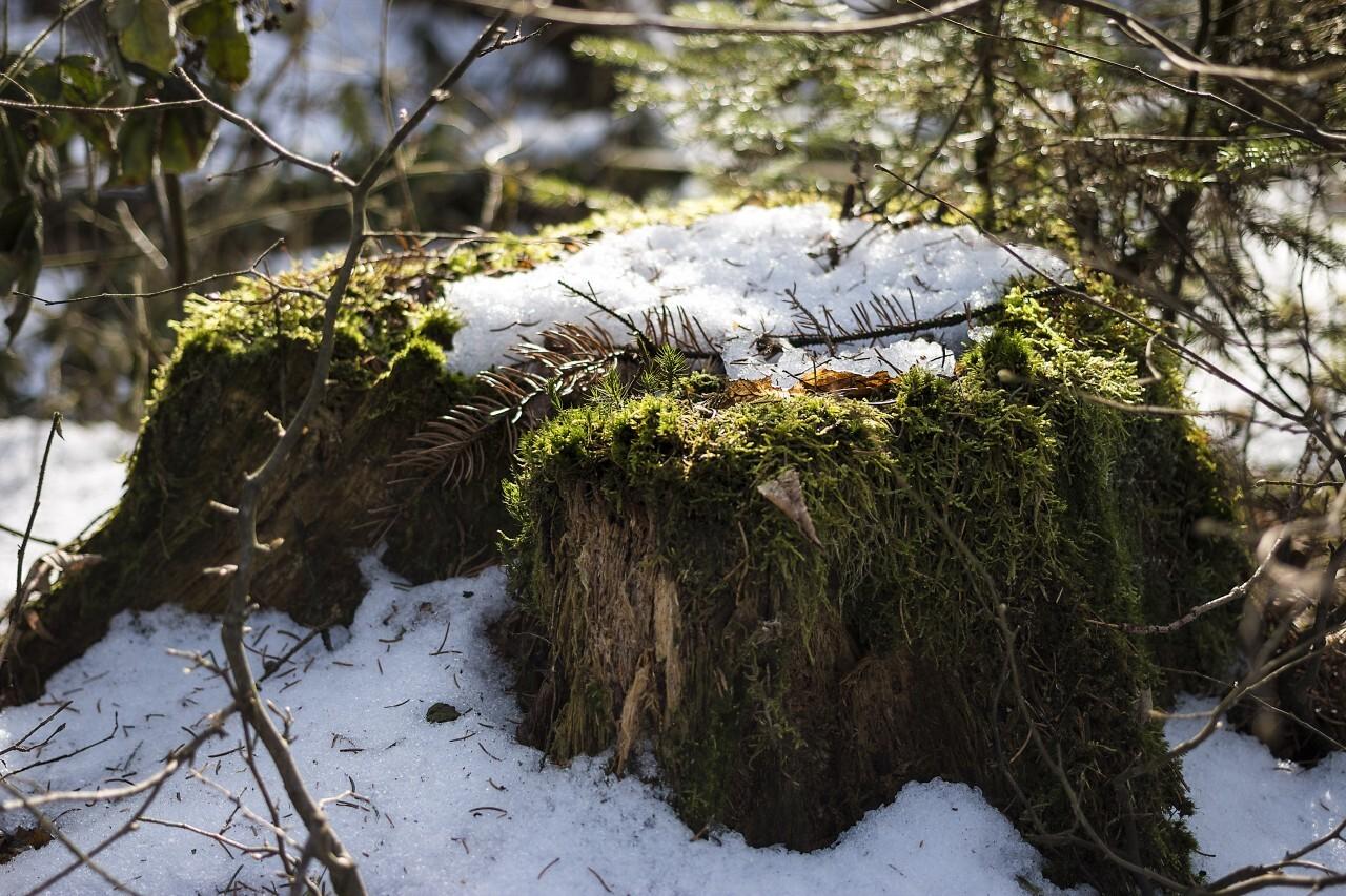 Old tree stump in snow in winter