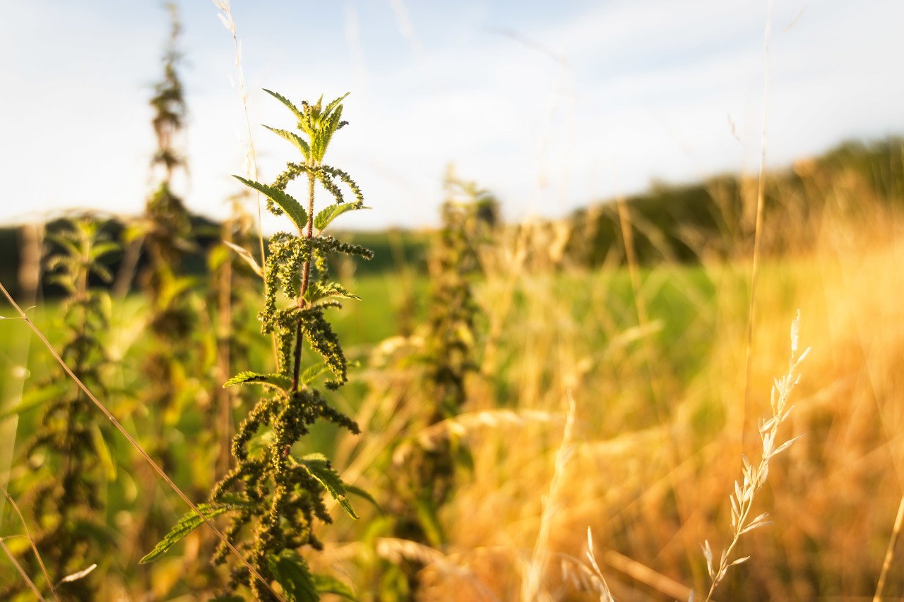 nettles at the edge of the field