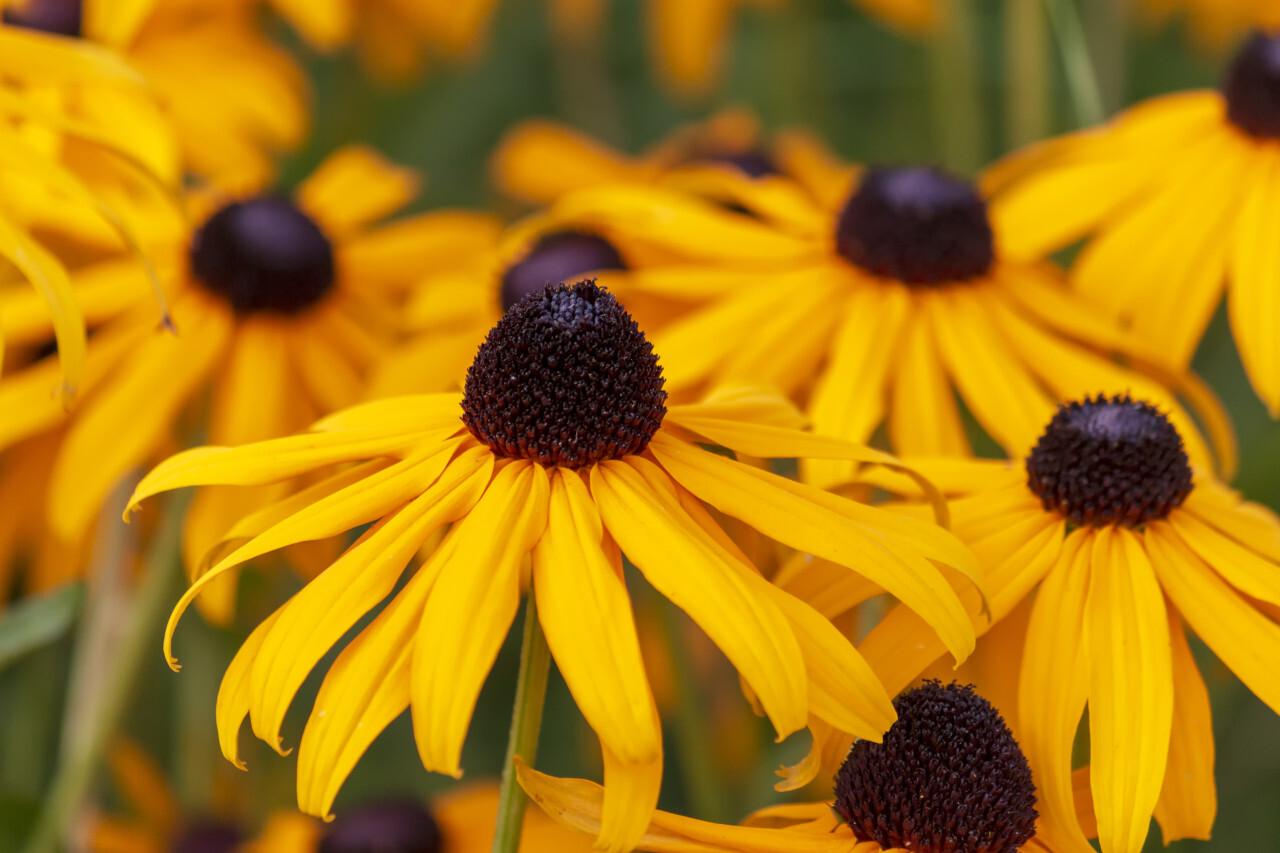 yellow flower rudbeckia fulgida