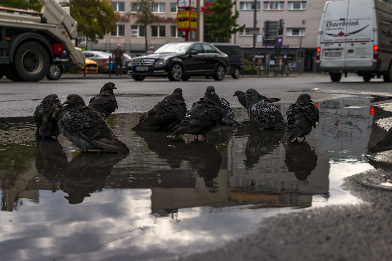 pigeon  take a bath in a puddle
