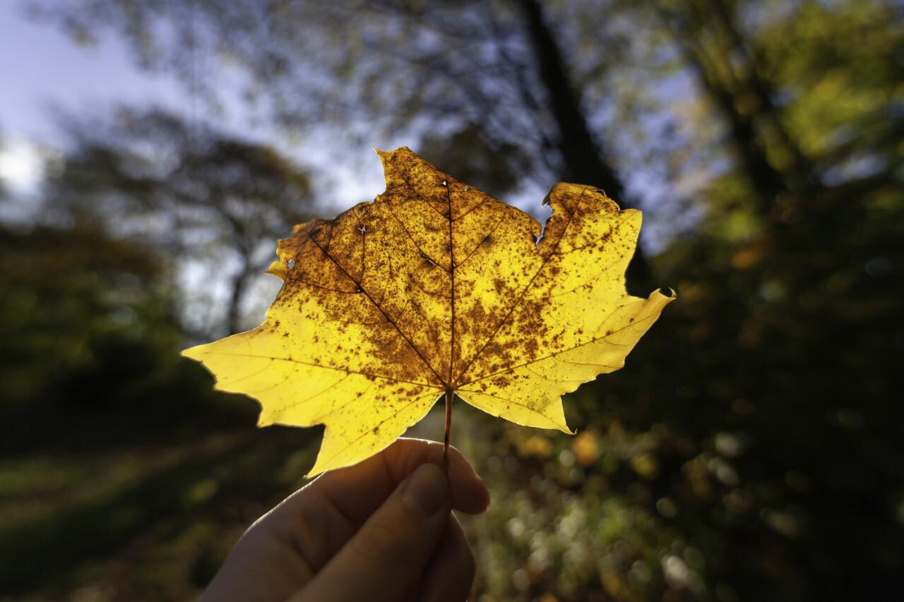 Woman holding fallen maple leaf