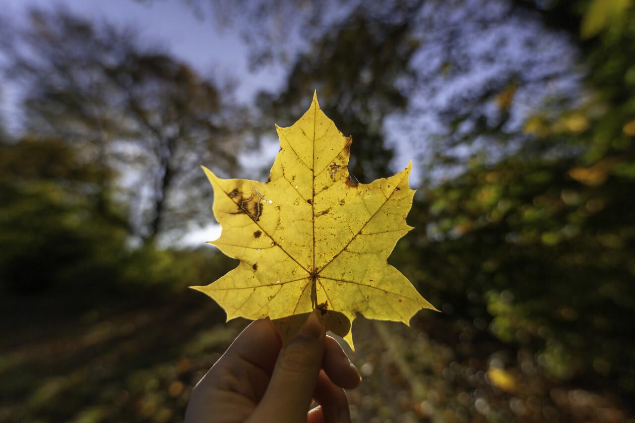 Woman holding fallen leaf