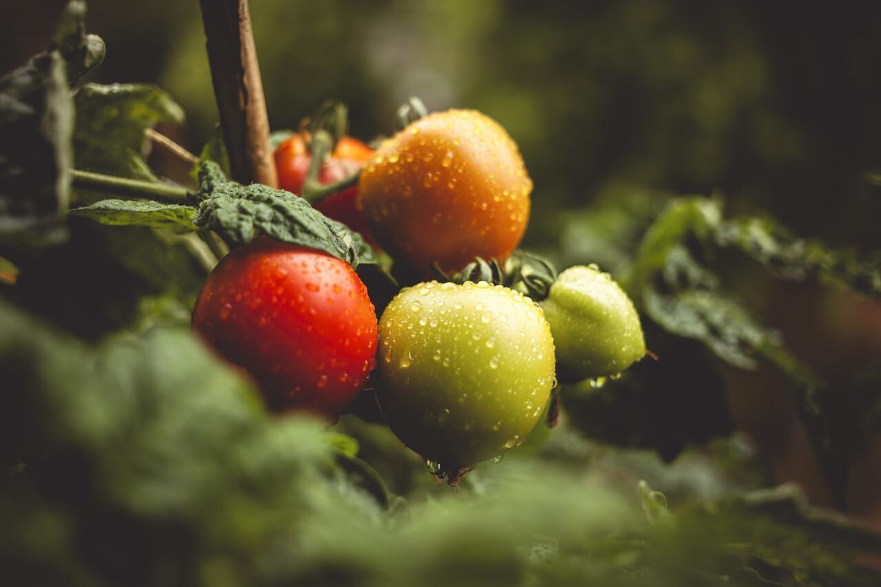 rain wet tomatoes in the garden
