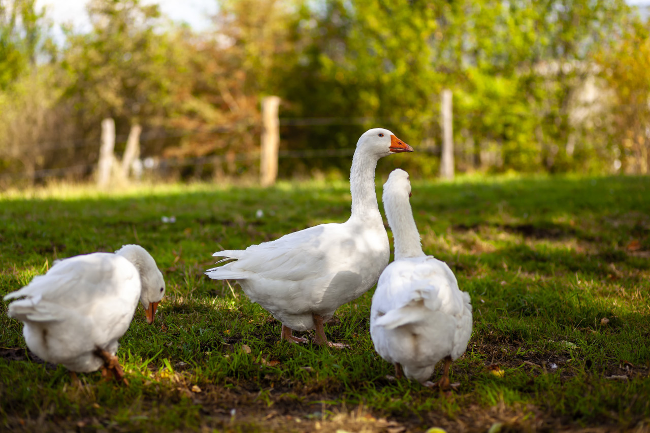 three geese on a meadow