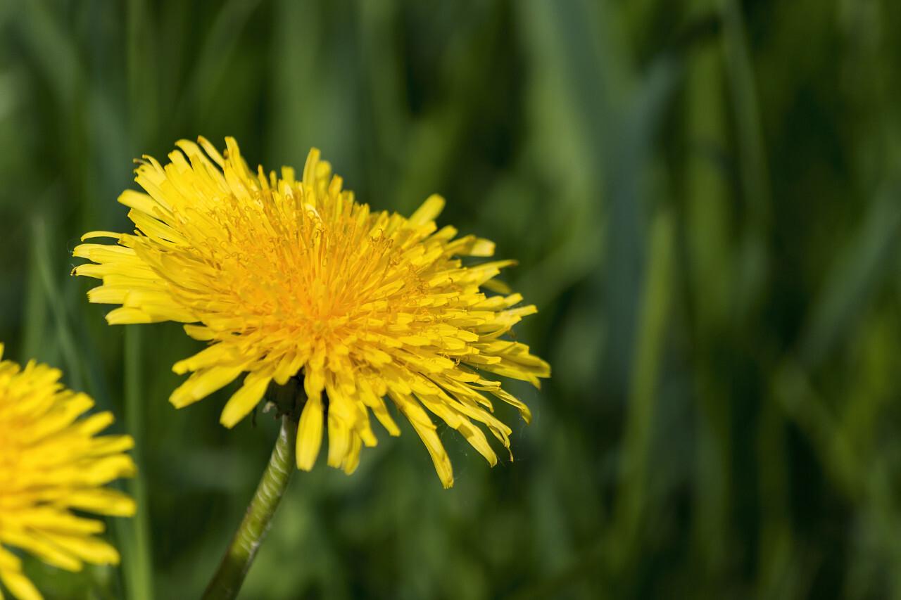 yellow dandelion green background
