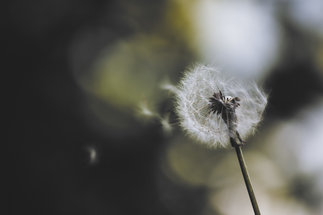 blowball in the wind