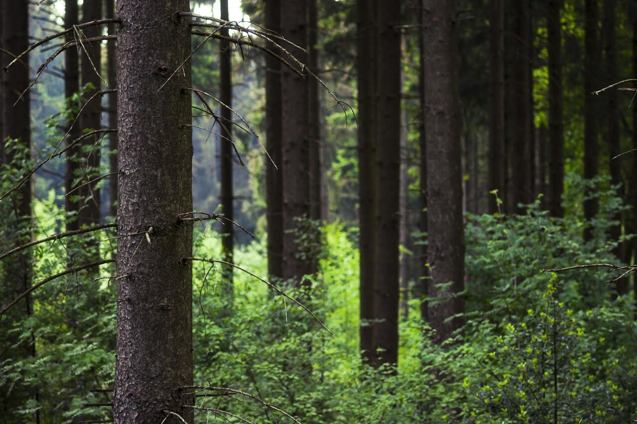 dense fir forest