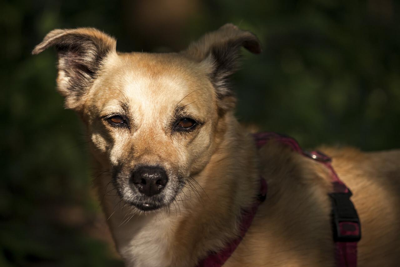 old brown dog portrait