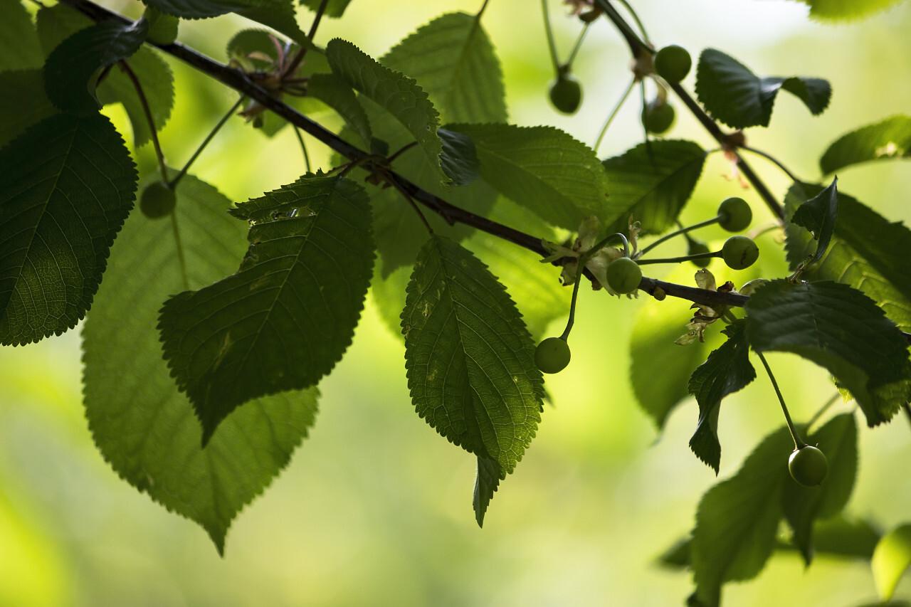 unripe cherries on a branch