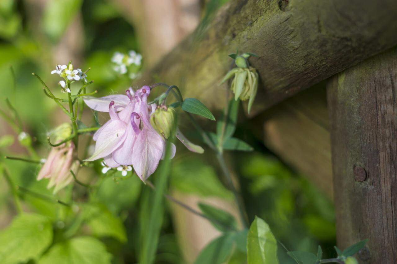 light pink columbine flower