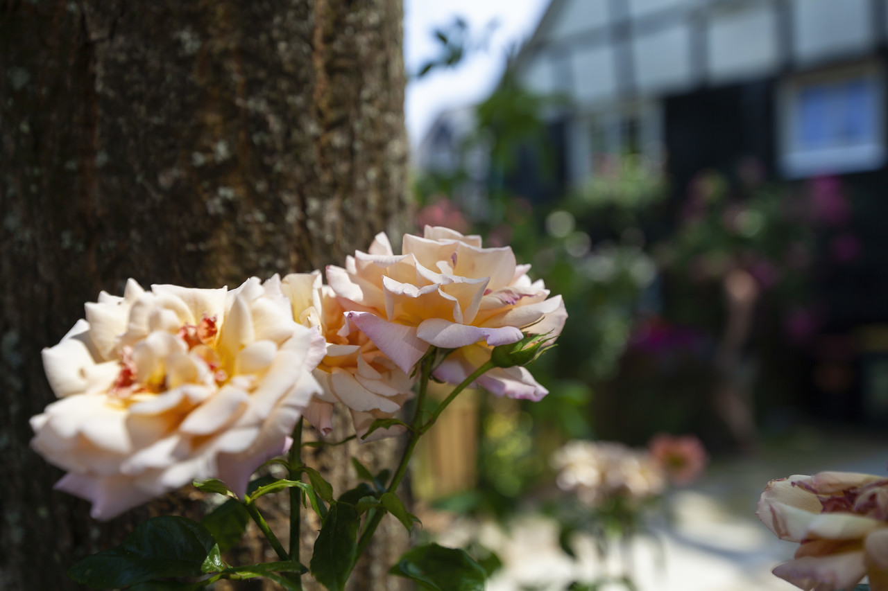 bright pink garden roses