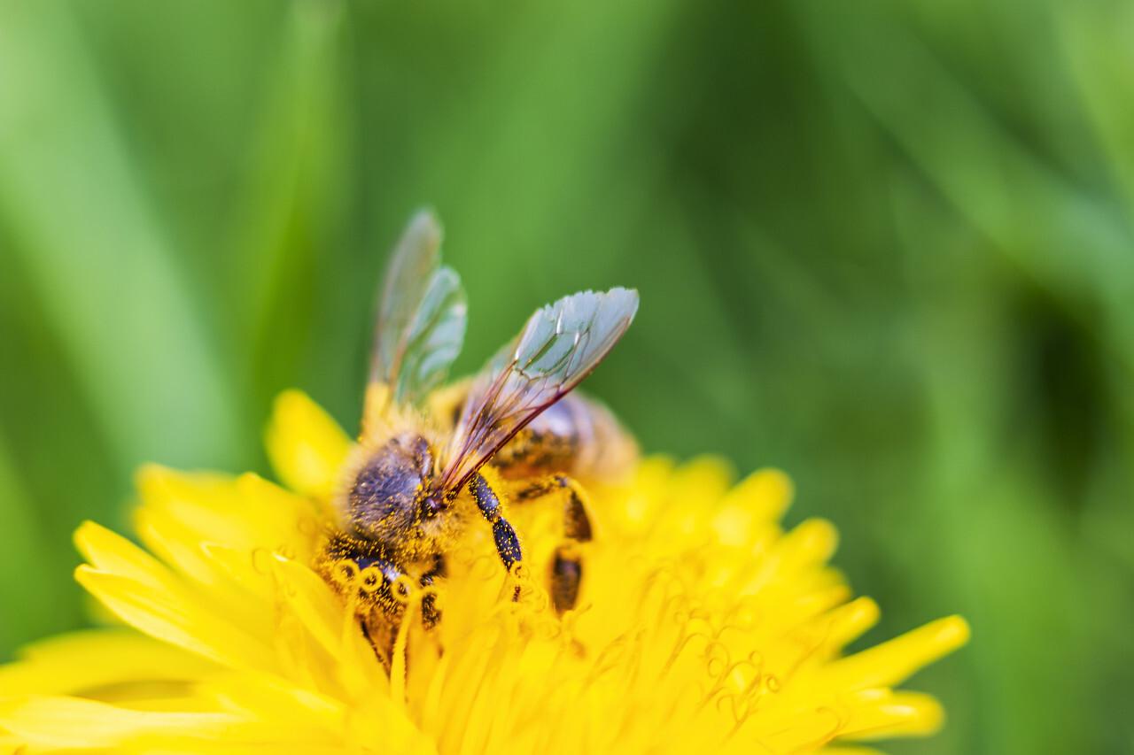 bee on yellow dandelion macro