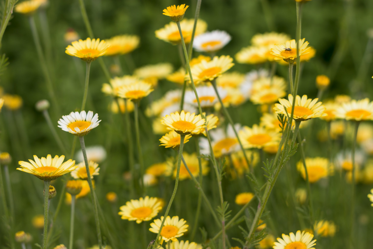 Golden marguerites, cota tinctoria yellow chamomile, or oxeye chamomile, a species of perennial flowering plant in the sunflower family.