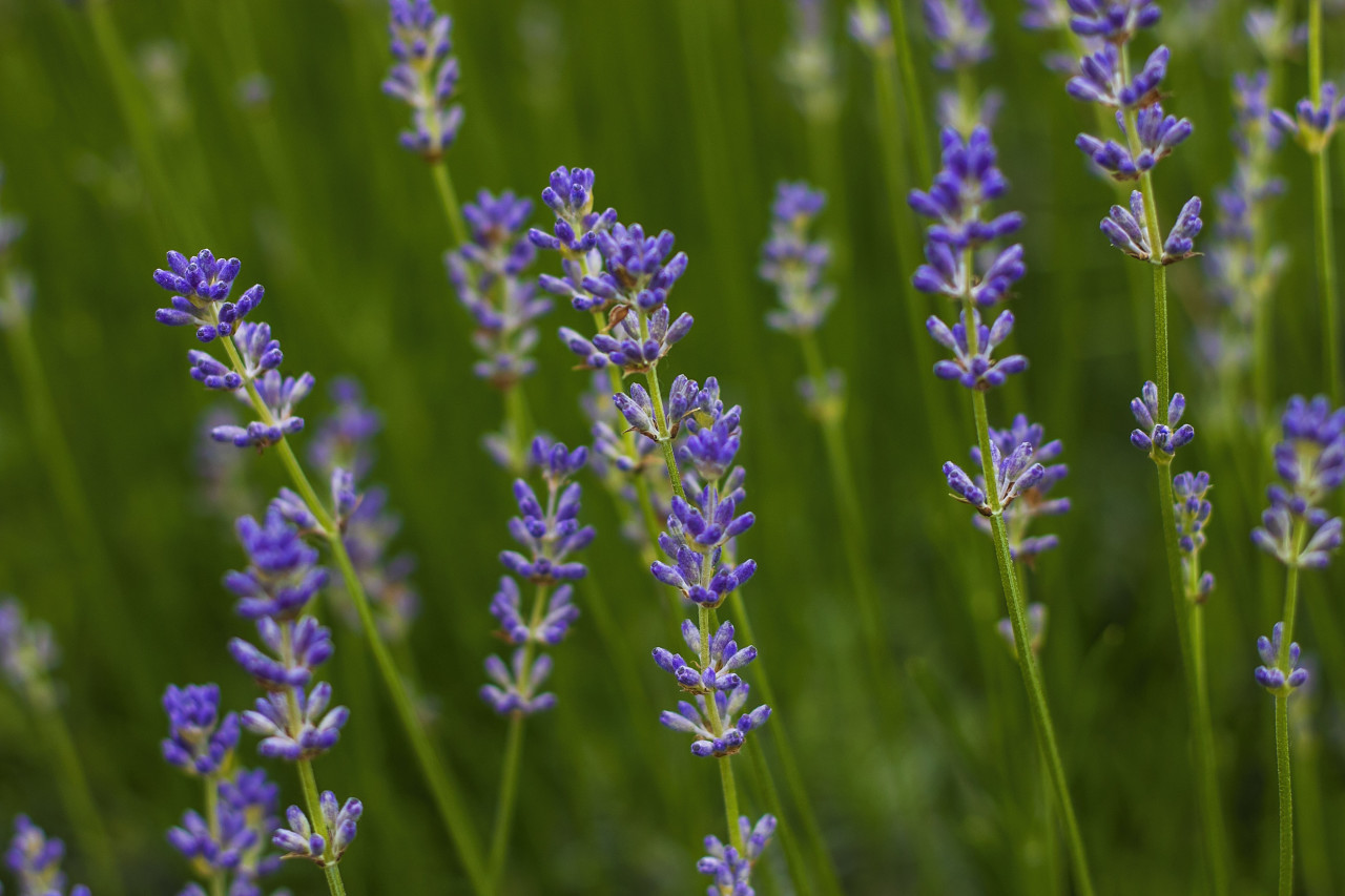 purple lavender flowers field blooming