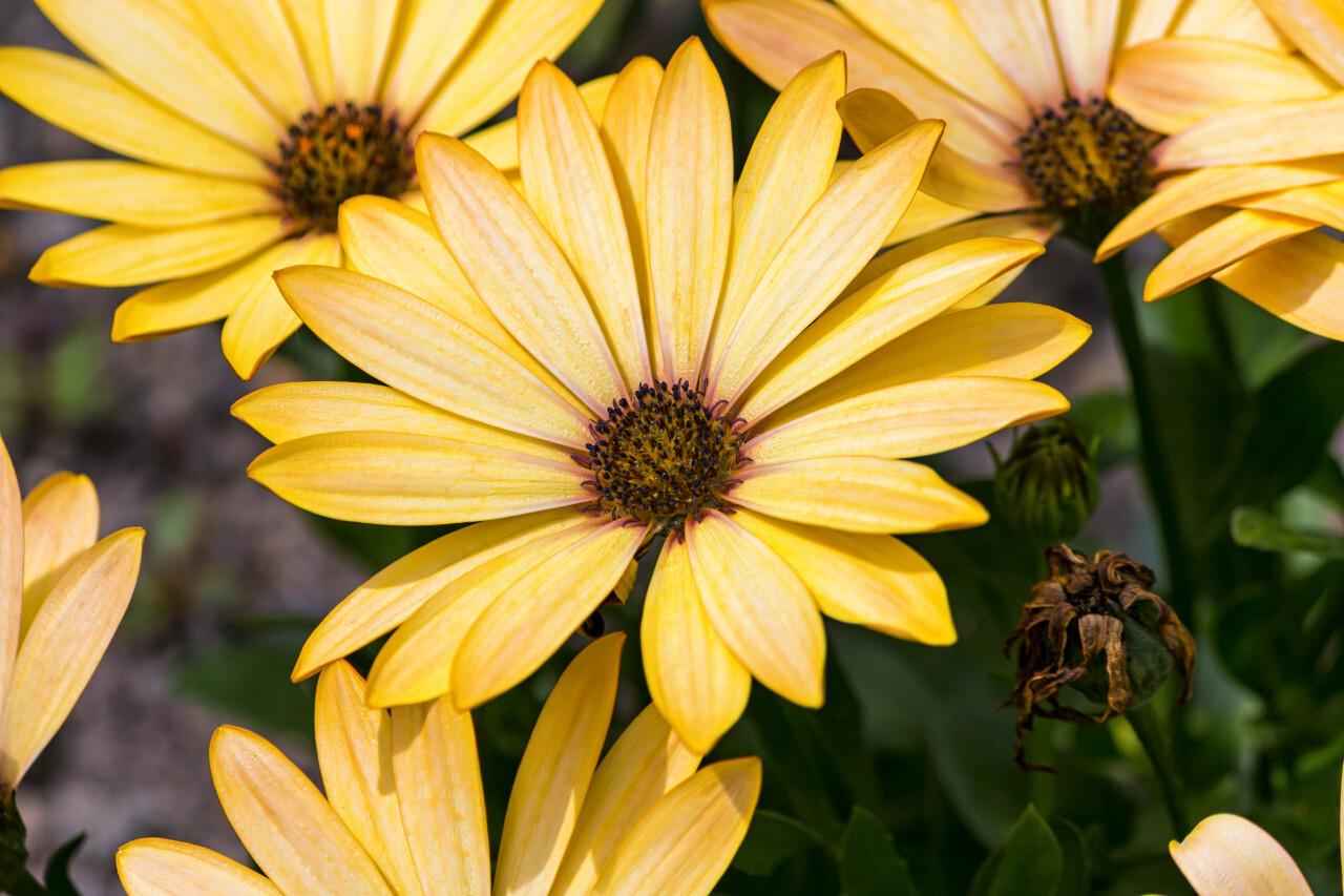 African daisies, osteospermum - yellow daisy flower