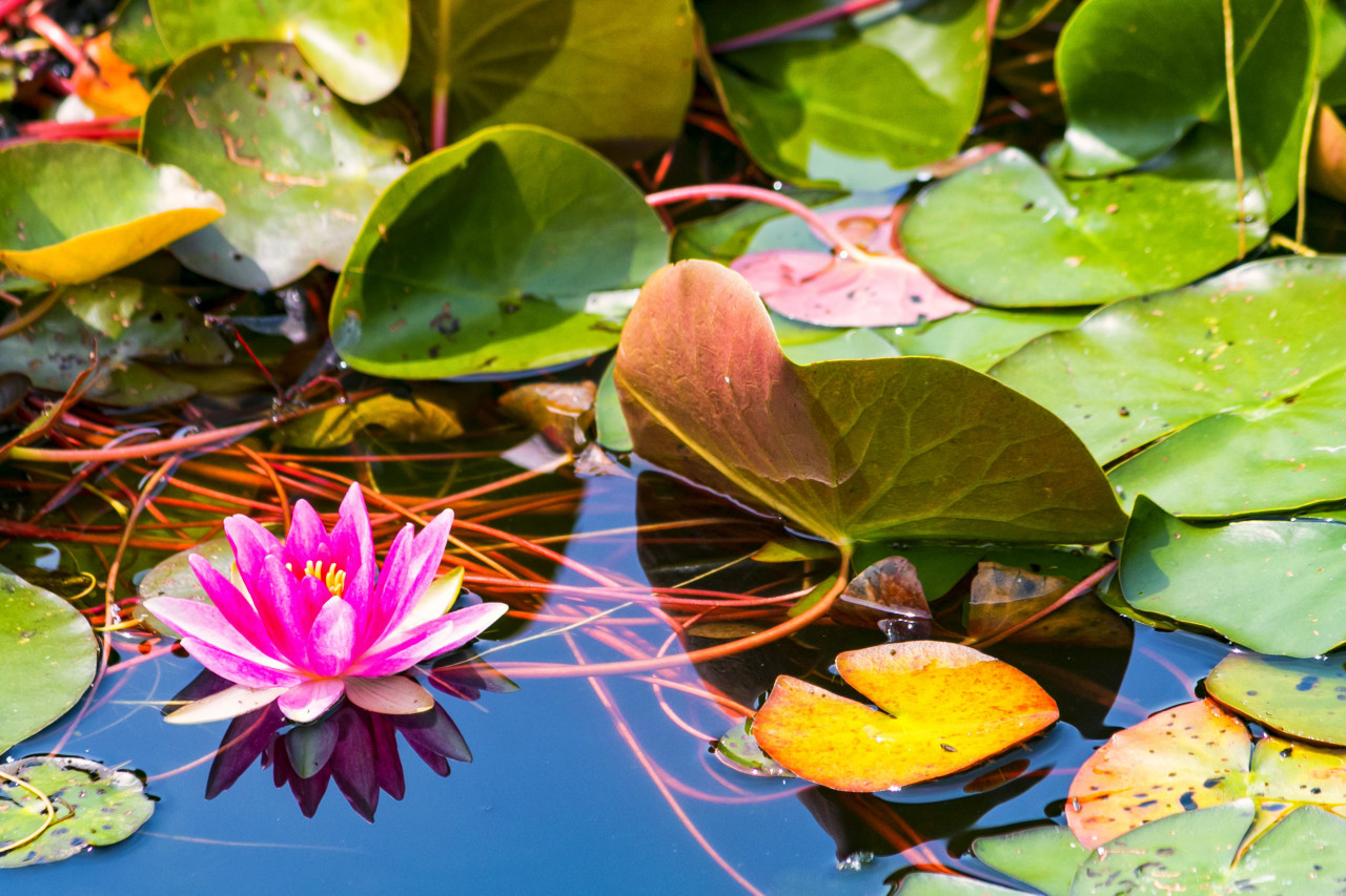 pink water lily, Nymphaea pubescens, hairy water lily