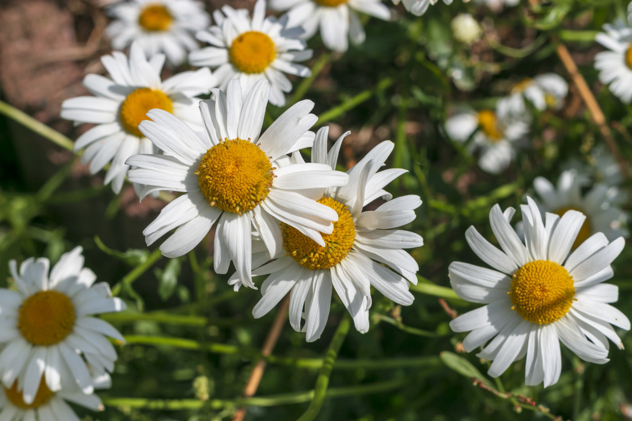 daisies from above - beautiful white meadow flower background