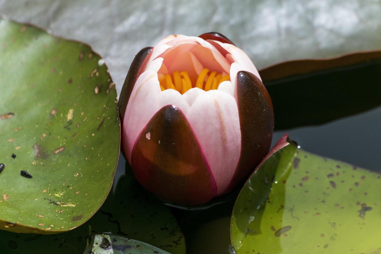 European white water lily - Nymphaea alba