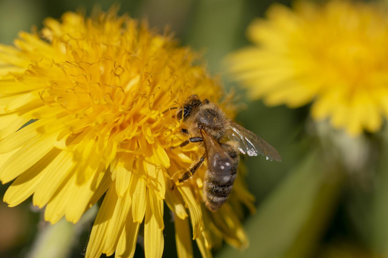 bee on yellow dandelion april