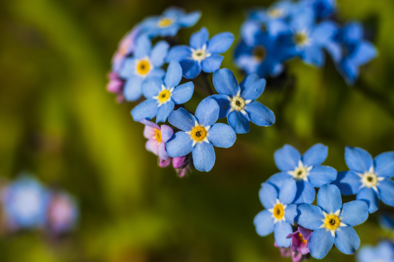 blue forget me not flowers in spring