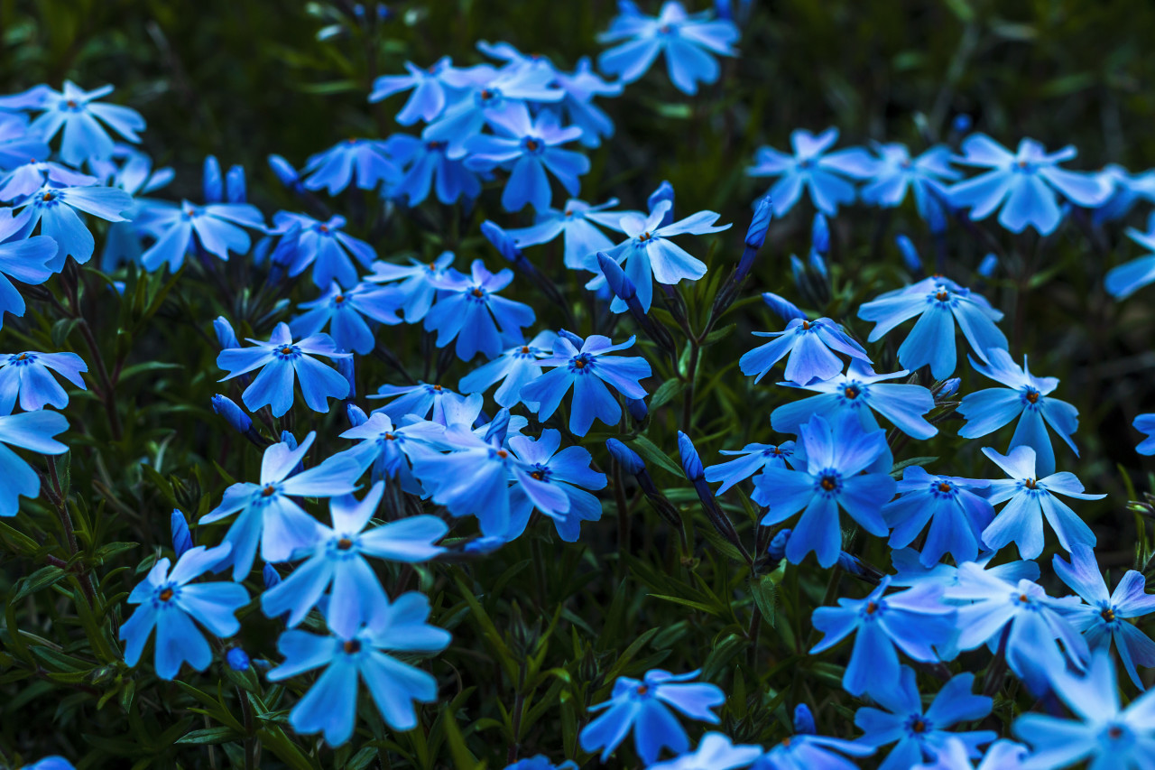 Phlox alyssifolia, blue spring flowers macro