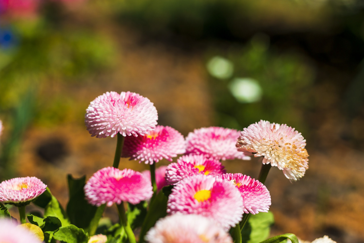 daisy flowers english bellis perennis