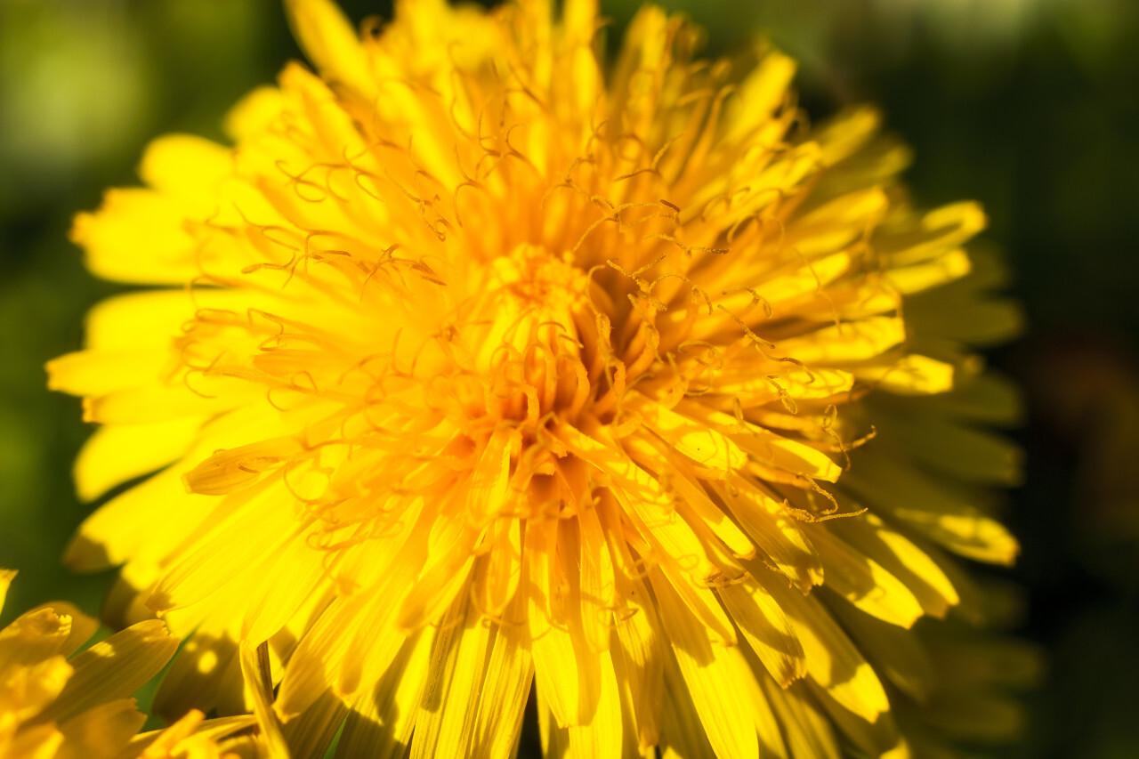 yellow dandelion flower macro in april