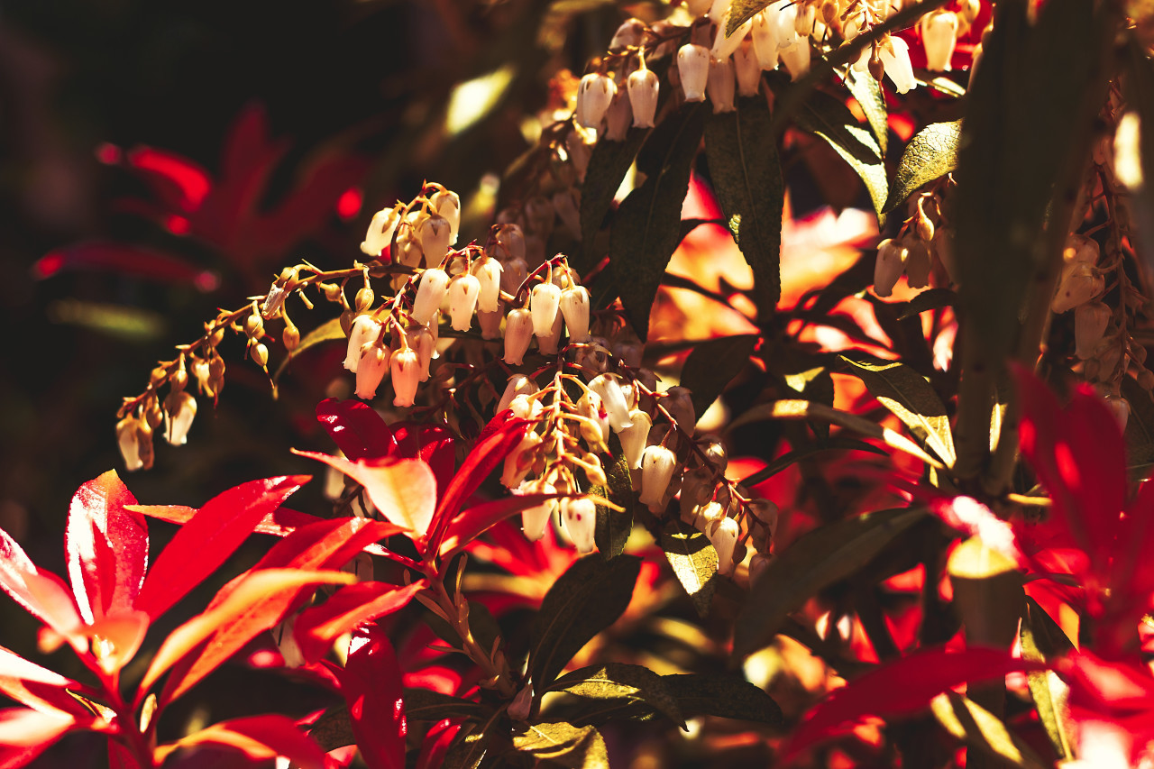 Pieris, andromedas or fetterbushes - flower with white bells between red leaved bush