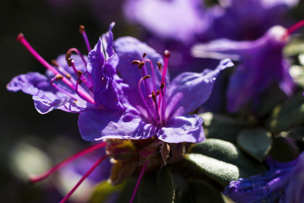 Azalea, Rhododendron: purple flower macro